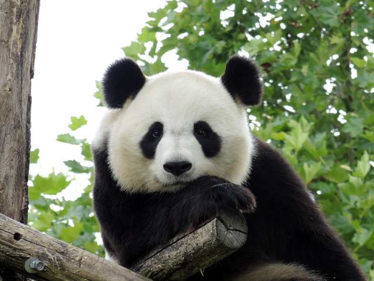 curiosità sul panda