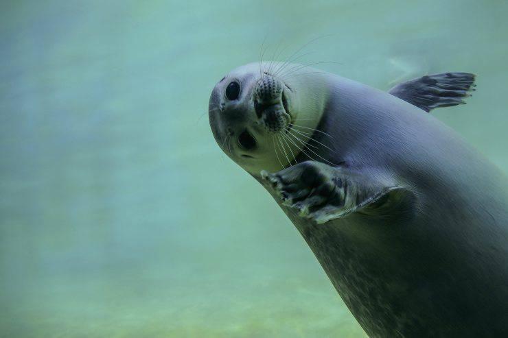 curiosità sulle foche