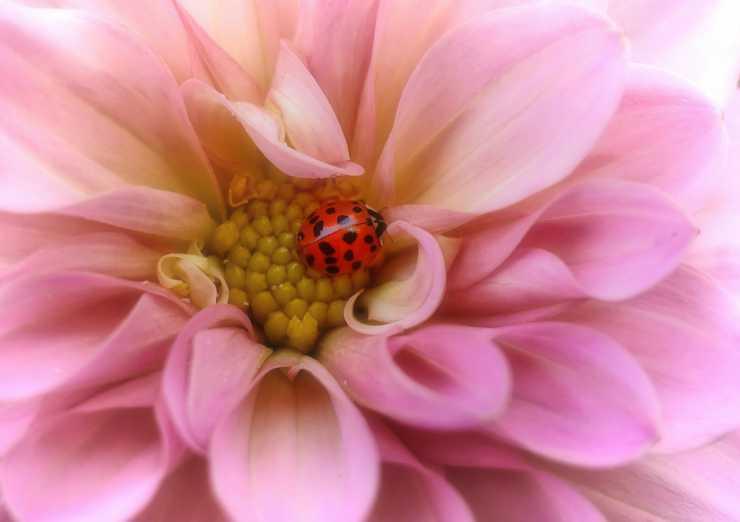 la coccinella nella corolla del fiore (Foto Pixabay)