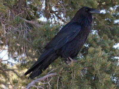 Come fare amicizia con i corvi
