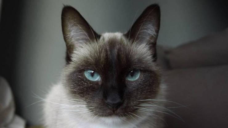 vivere con un gatto siamese