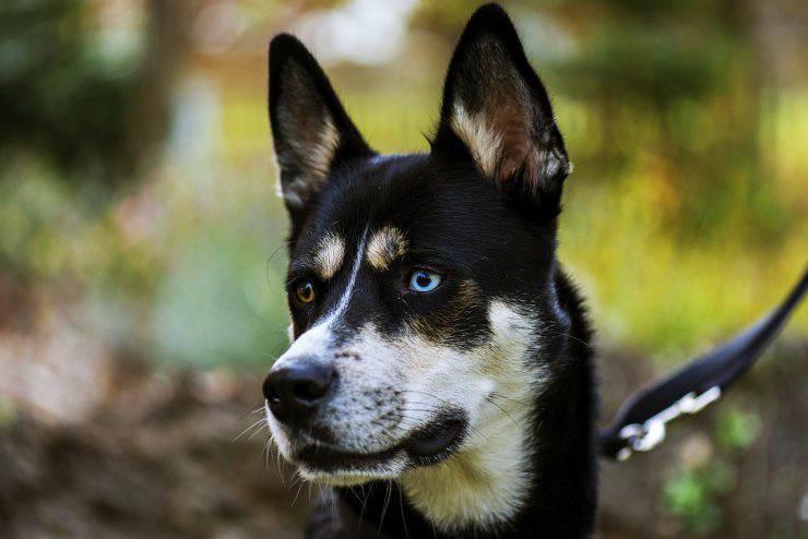 Razze di cani, gruppo n.5: Husky Siberiano
