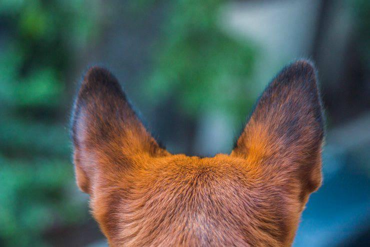 orecchie cane