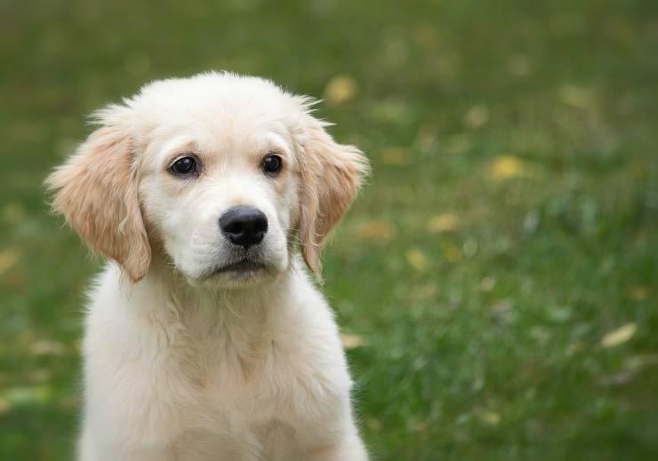 Il cucciolo di Golden Retriever (Foto Pixabay)
