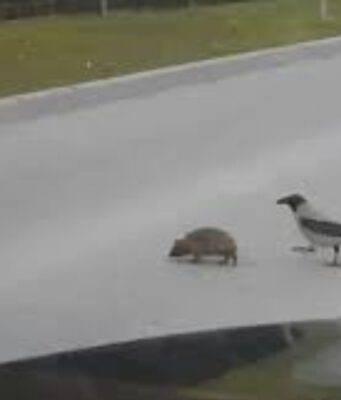 Corvo riccio attraversare strada