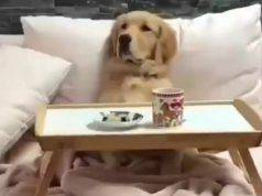 Il golden Retriever a letto (Foto video)