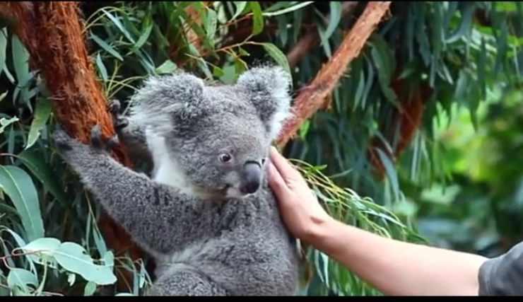 Il koala Ash (Foto video)