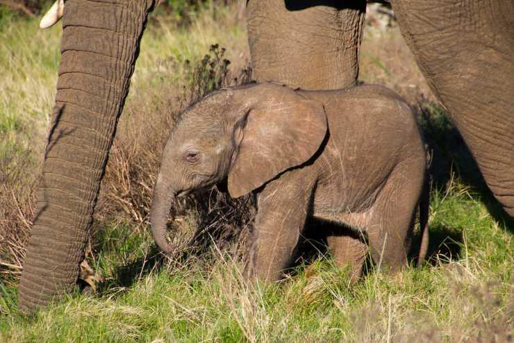 elefante gravidanze più lunghe