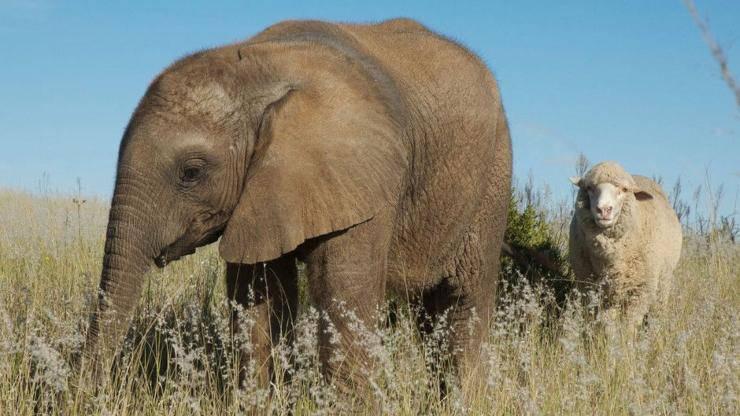 elefante pecora amicizie animali