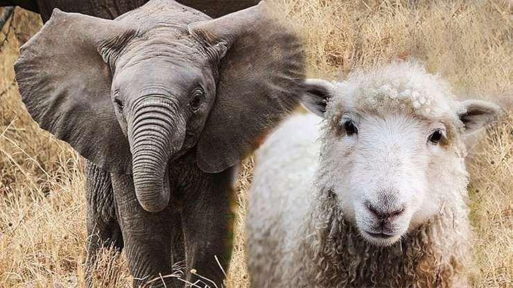 Elefante e pecora che stringono amicizia?