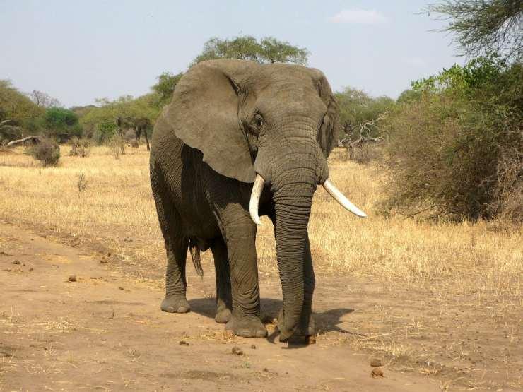 Elefanti immuni al cancro