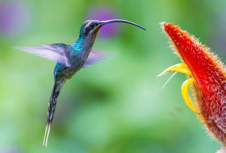 il colibrì eremita verde