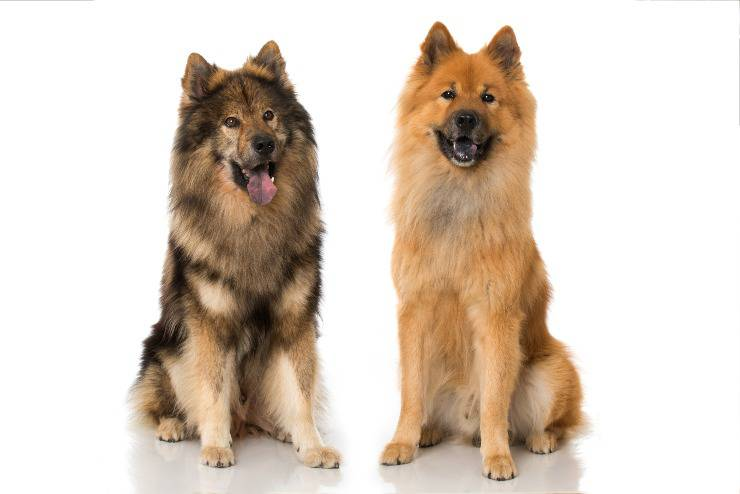 eurasier adulto