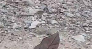 farfalla mimetizza foglia secca