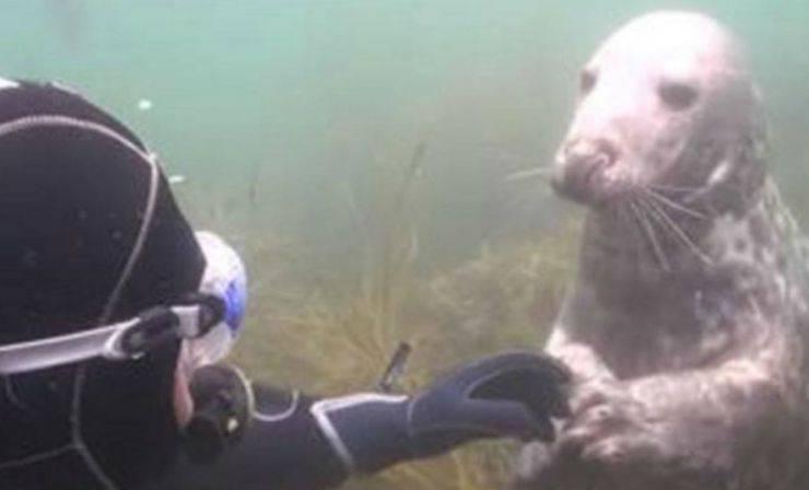 La foca che stringe la mano al sub (Foto video)