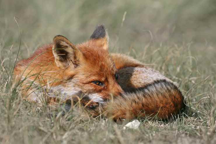 La volpe rannicchiata (Foto Pixabay)