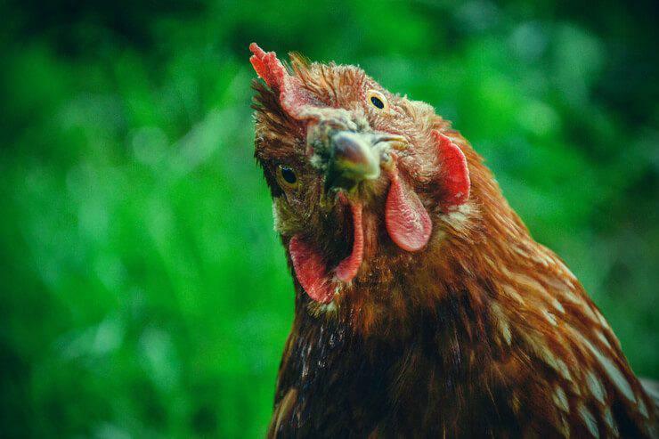 gallina Ipnosi del pollo
