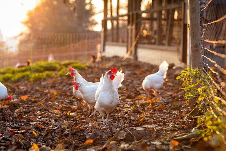 curiosità sui polli galline