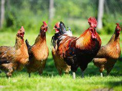 Curiosità sui polli: quello che non sapevate su galline, galli, e simili