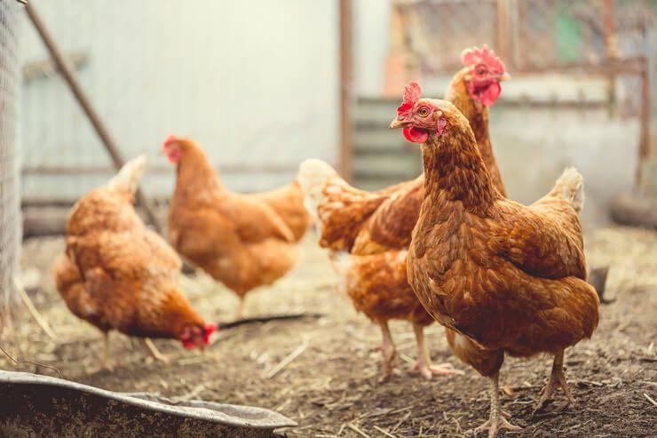 galline cospirazione polli kfc curiosità