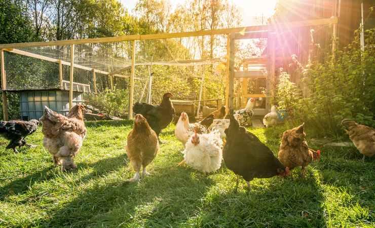 galline La tassa sui polli