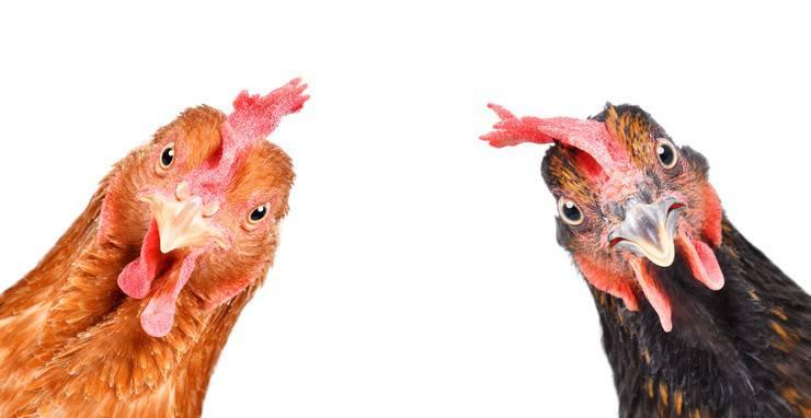 galline Le curiosità sui polli più interessanti