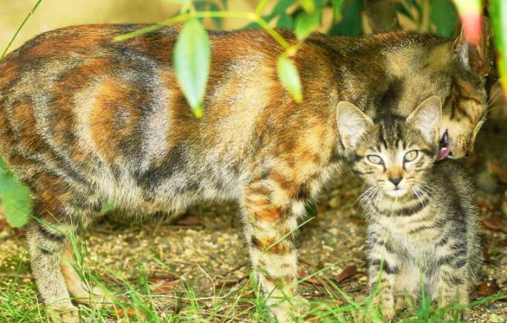 gatta lava gattino