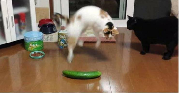 Gatto paura cetrioli