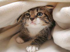 Cosa fare se il gatto mangia una cimice