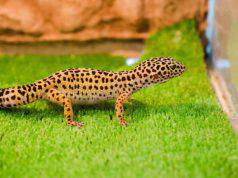 geco leopardo incinta