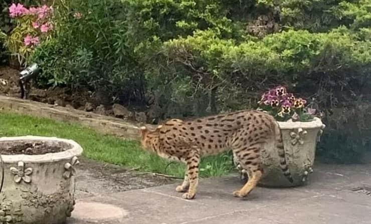 grosso felino nel giardino