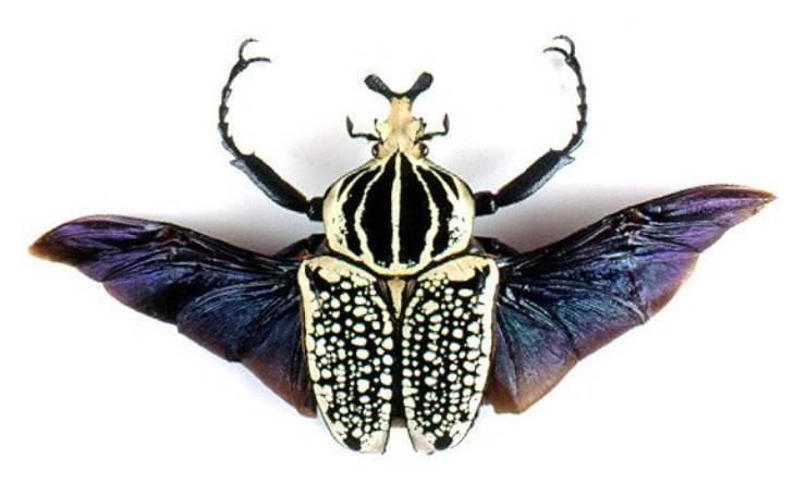 scarabeo goliathus orientalis
