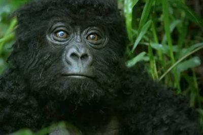 gorilla spia