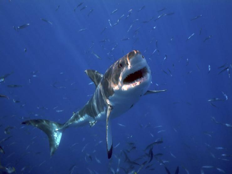 grande squalo bianco pesci più pericolosi al mondo
