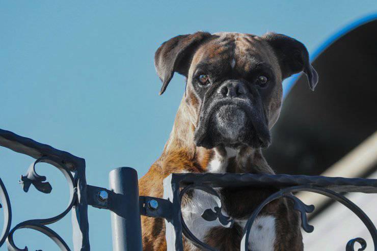 Cane da guardia o da difesa