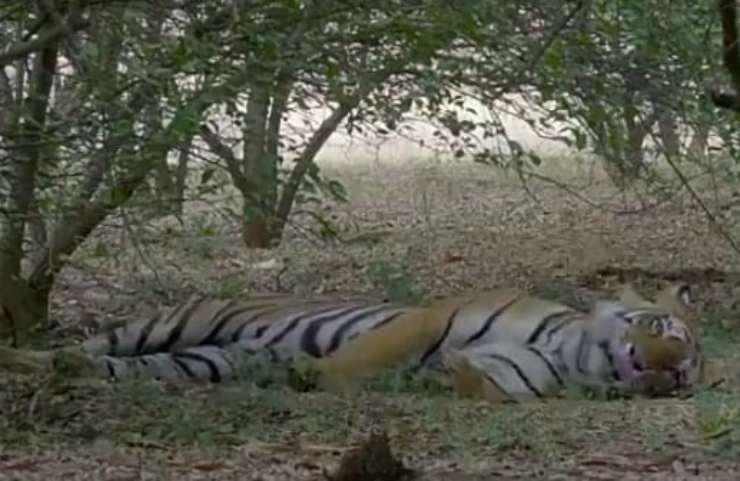 tigre alberi