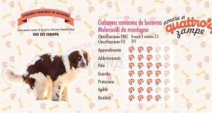 Cane da Pastore di Bucovina scheda razza
