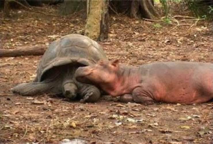 Ippopotamo e tartaruga