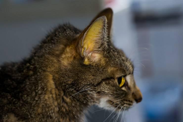 pelle gialla nel gatto