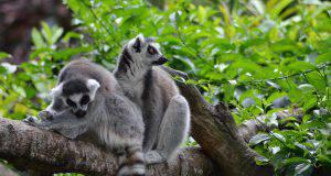 Rituali amorosi dei lemuri