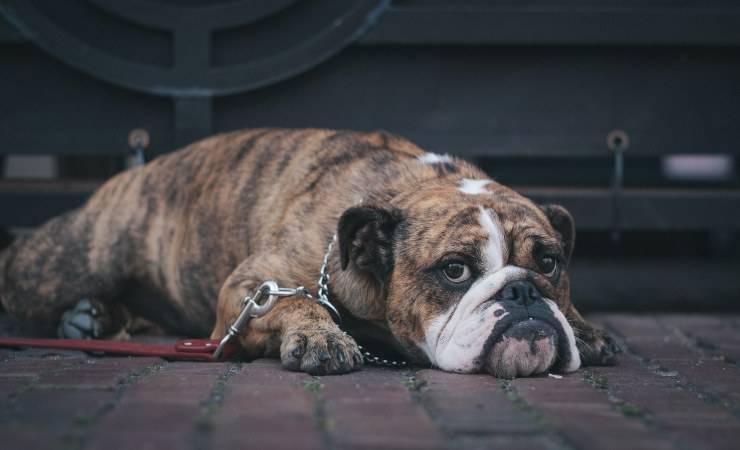 Malattie del fegato nel cane