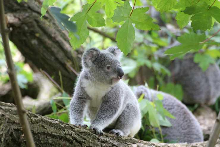 Il koala seduto sull'albero (Foto Pixabay)