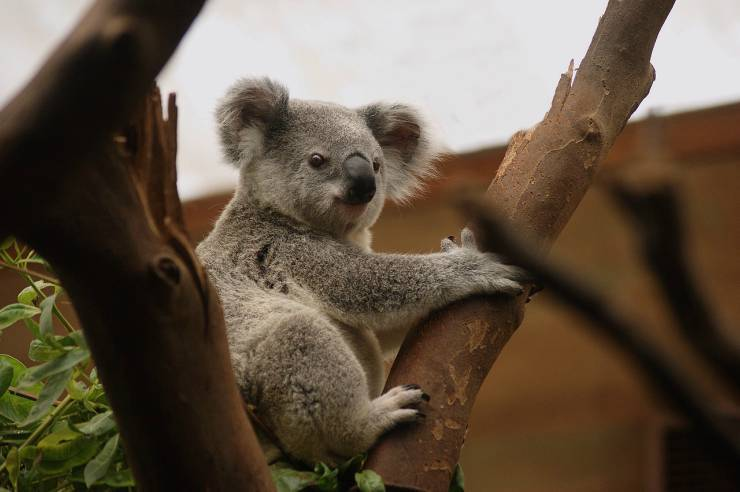 Il koala sull'albero (Foto Pixabay)