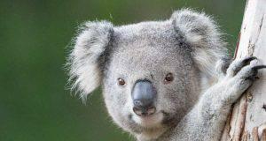 koala curiosità