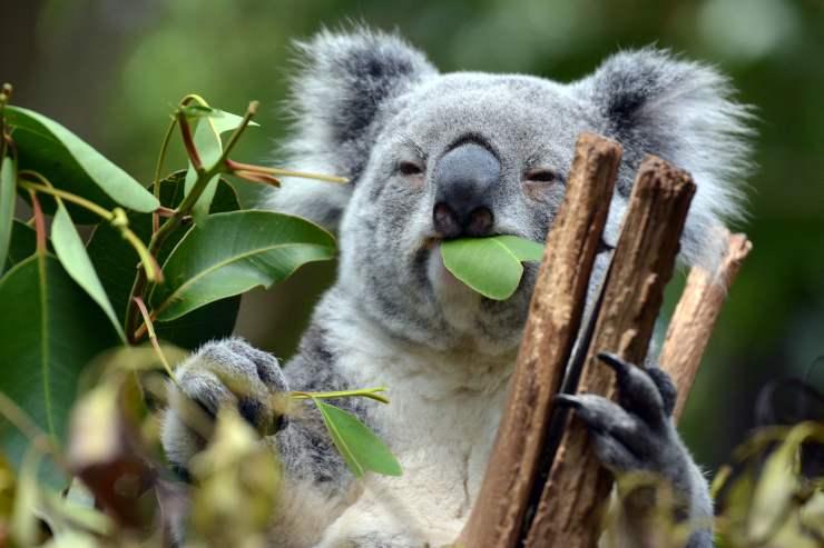 marsupiale mangia