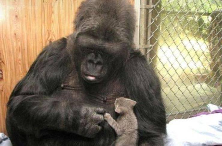 gorilla Koko e il suo gattino