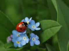 La coccinella sul fiore (Foto Pixabay)