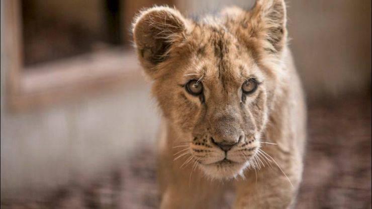 leoncino animali diversi da come li vediamo
