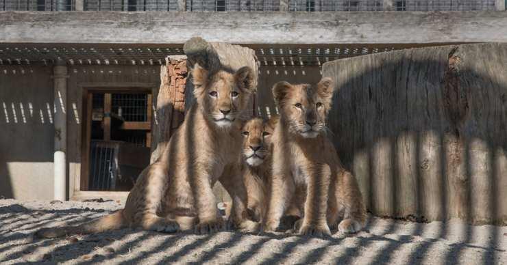 cuccioli leone salvati