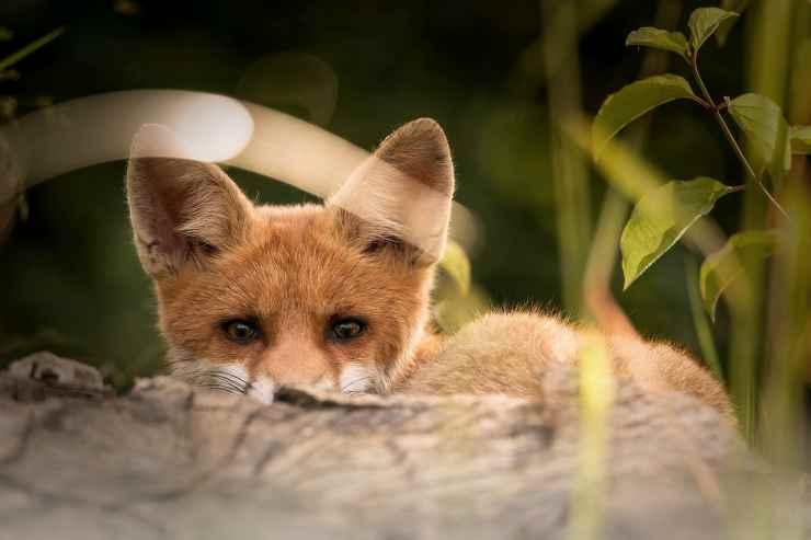 La volpe spiona (Foto Pixabay)